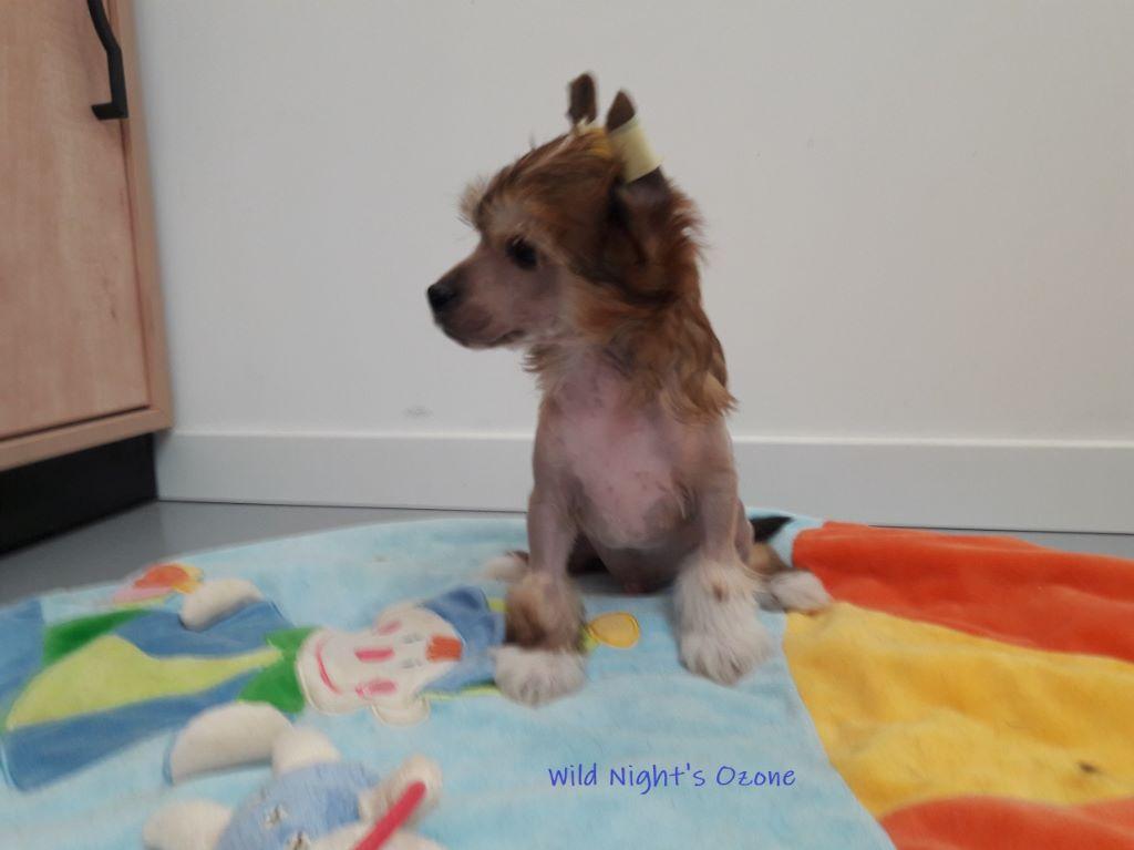 Wild Night's - Chiot disponible  - Chien chinois à crête