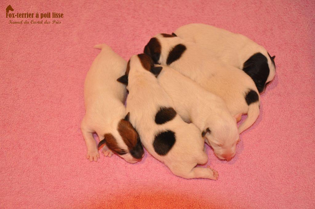 Du castel des pres - Chiot disponible  - Fox Terrier Poil lisse