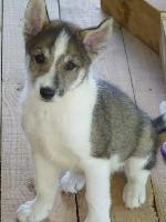 Amanuq - Siberian Husky - Portée née le 30/06/2017