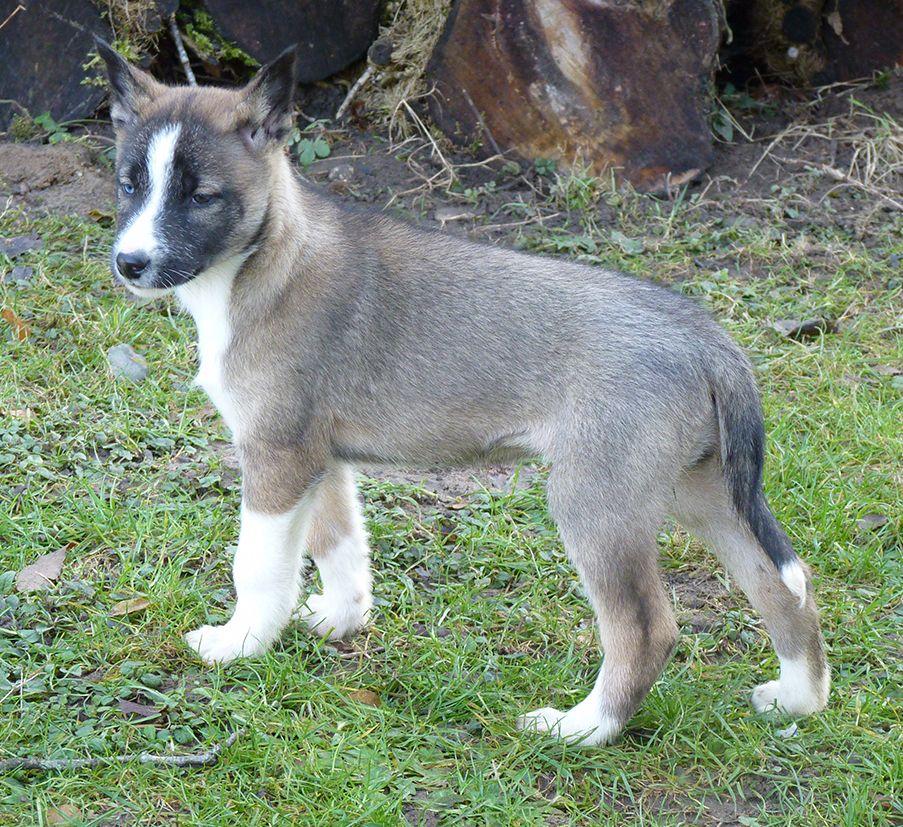 Amanuq - Chiot disponible  - Siberian Husky
