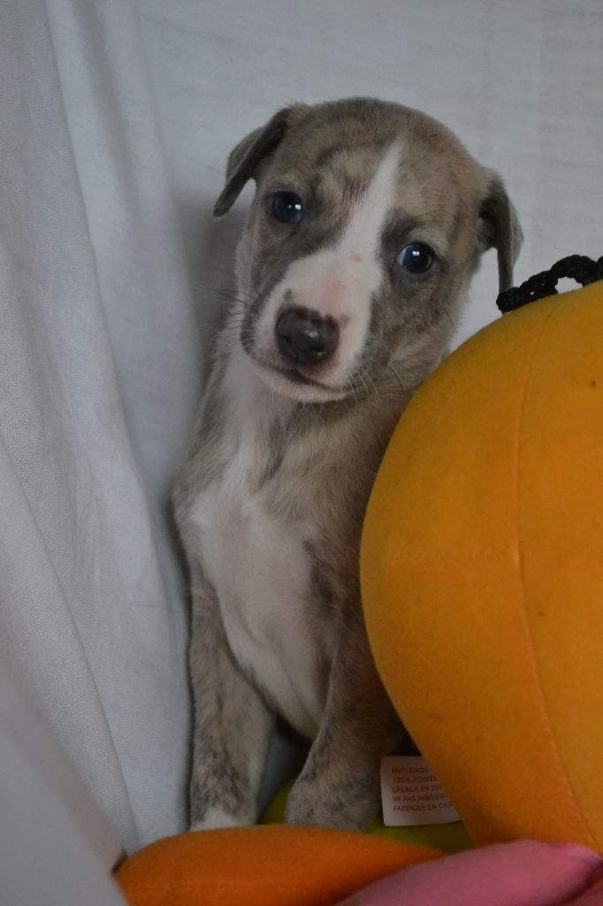 Horsewip Gold - Chiot disponible  - Whippet