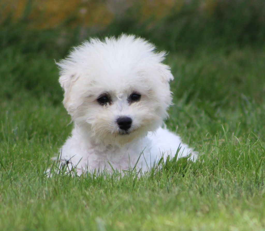 Des bles d'or chartrains - Chiot disponible  - Bichon frise