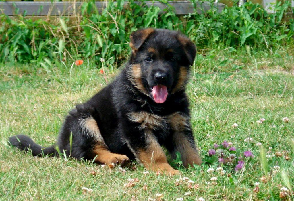 Accueil elevage du grand ouest eleveur de chiens - Berger allemand gratuit ...