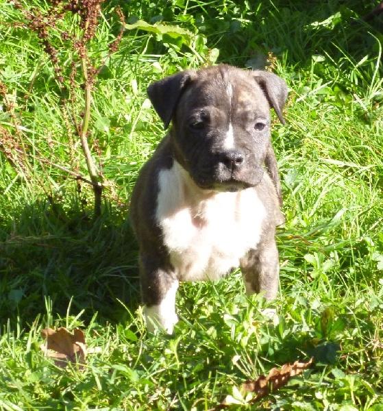 Chiot - Elevage De karysha - eleveur de chiens American ... American Staffordshire Terrier 2014
