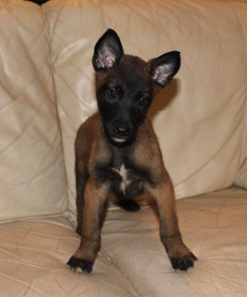 De karysha - Chiot disponible  - Berger Belge