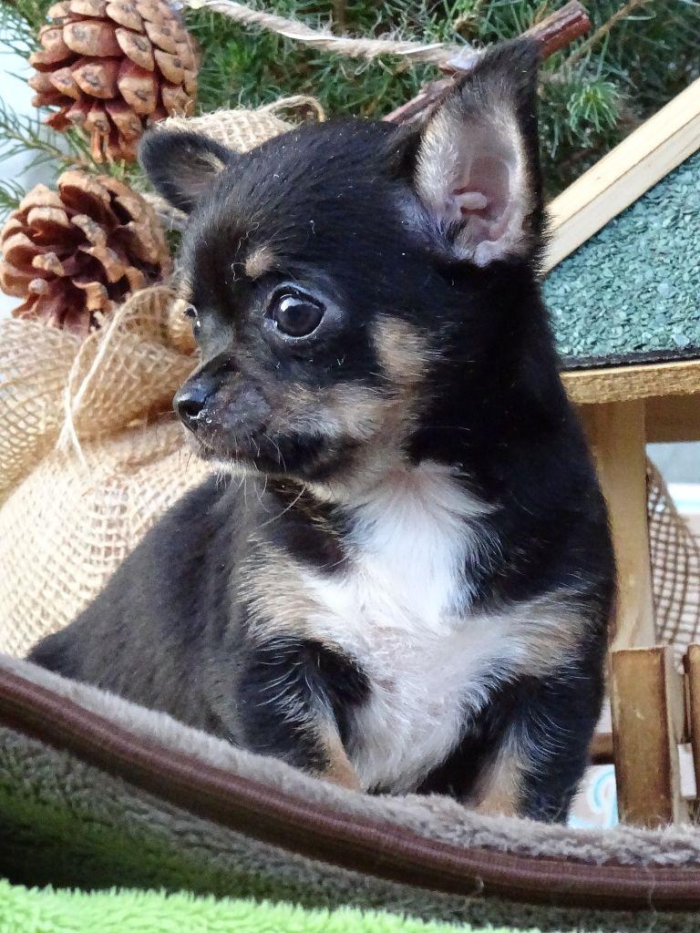 de l'Orée des charmois - Chiot disponible  - Chihuahua