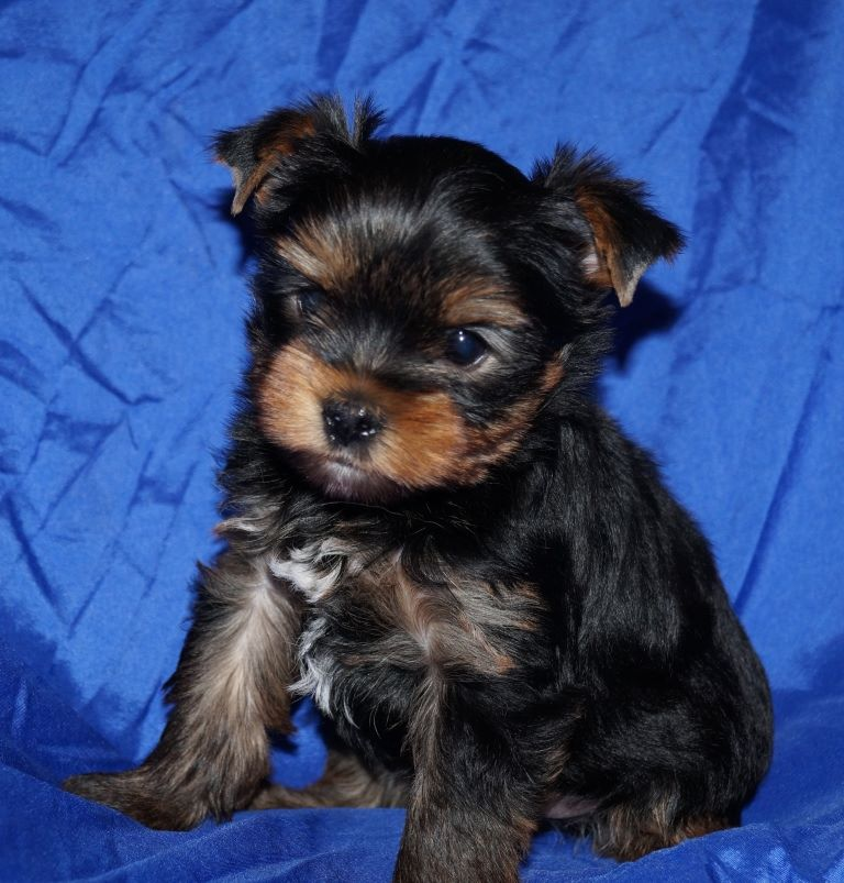Phileas - Yorkshire Terrier