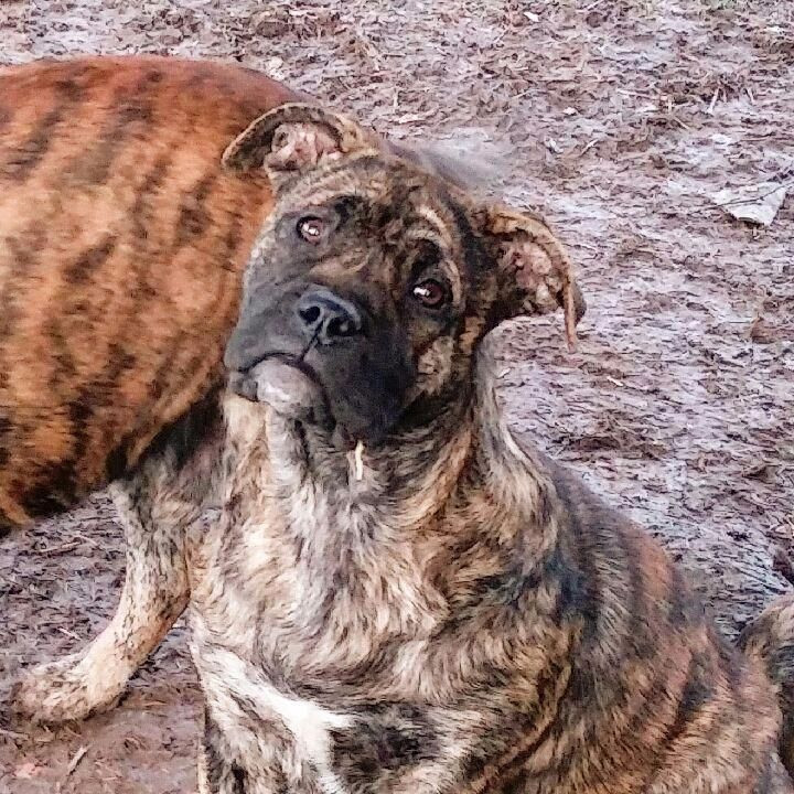 des Cerbères du Gévaudan - Chiot disponible  - Dogue de Majorque