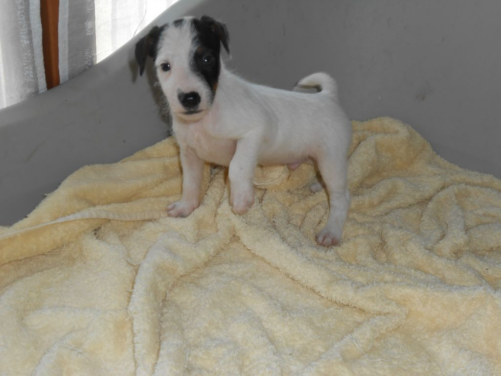 De la roche turpin - Chiot disponible  - Parson Russell Terrier