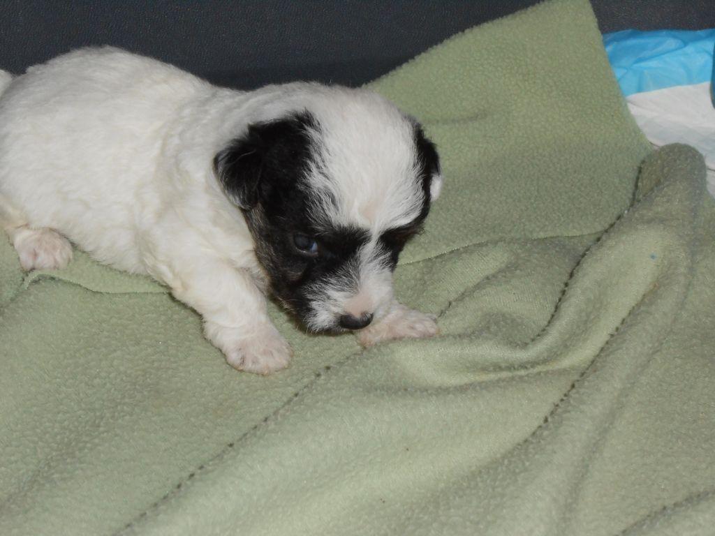 De la roche turpin - Jack Russell Terrier - Portée née le 28/01/2021