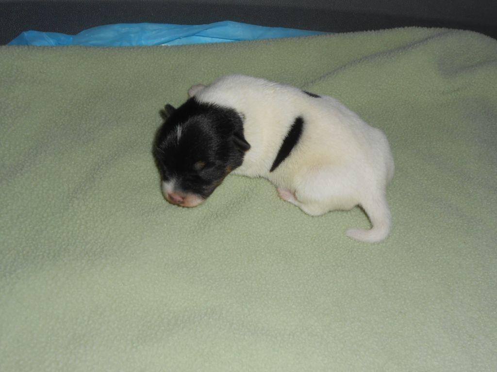 De la roche turpin - Jack Russell Terrier - Portée née le 30/03/2021