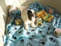 De la roche turpin - Jack Russell Terrier - Portée née le 19/10/2017