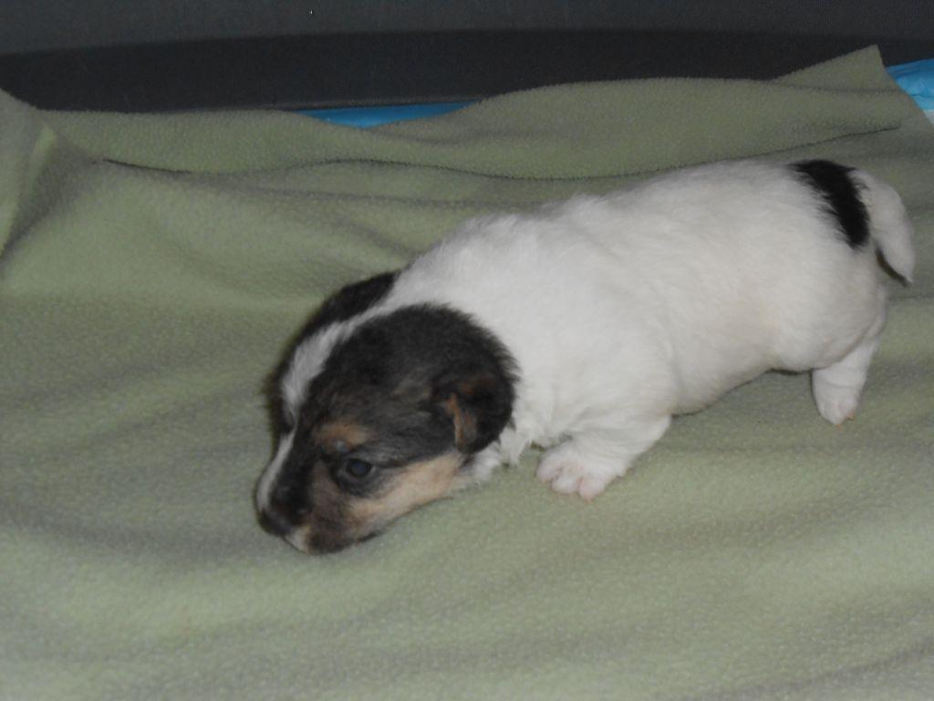 De la roche turpin - Jack Russell Terrier - Portée née le 07/02/2021