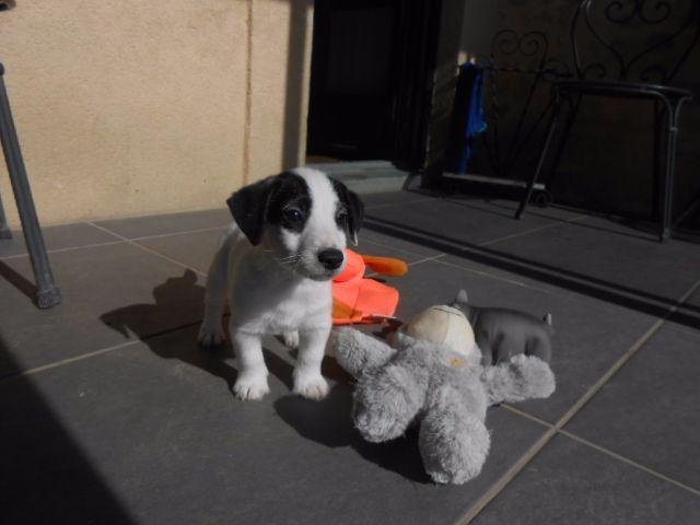 De la roche turpin - Jack Russell Terrier - Portée née le 26/07/2017