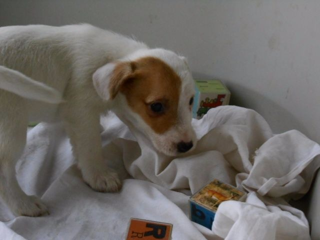 De la roche turpin - Chiot disponible  - Jack Russell Terrier