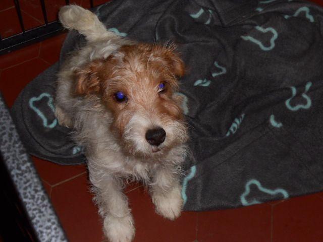 chiot Parson Russell Terrier De la roche turpin