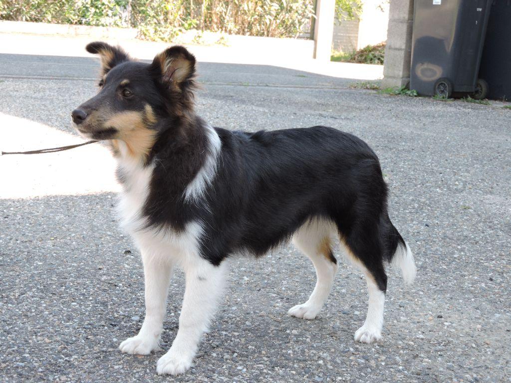 Oswald - Shetland Sheepdog