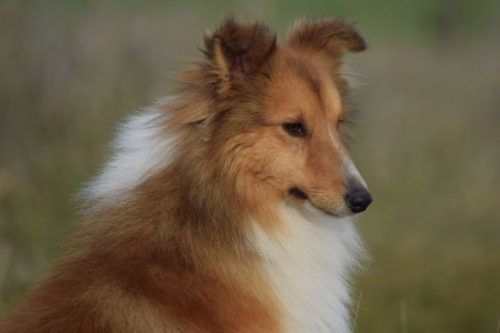 de la source du Montet - Chiot disponible  - Shetland Sheepdog