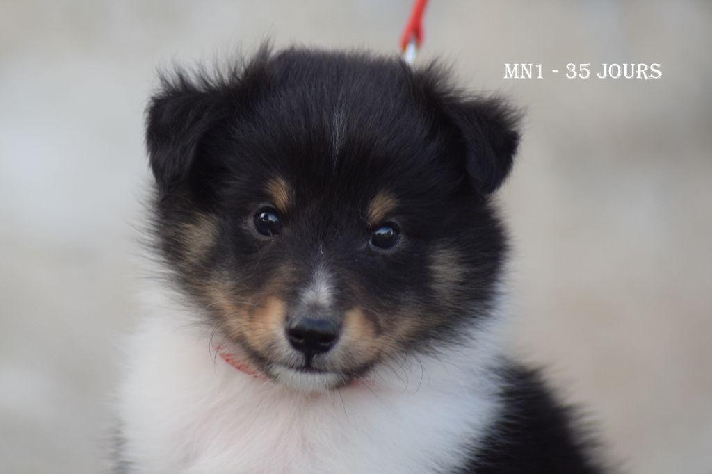 de la source du Montet - Chiot disponible  - Shetland Sheepdog