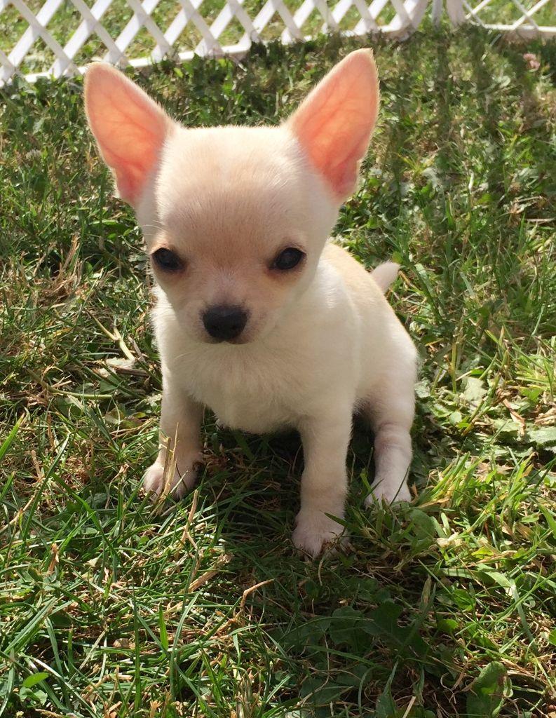 des Mini Pouces - Chihuahua - Portée née le 02/06/2017