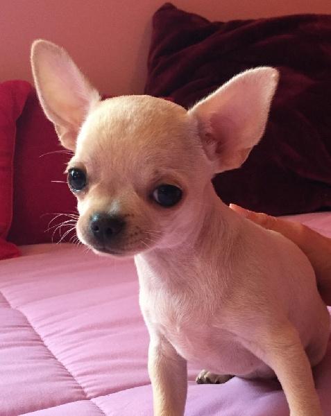 des Mini Pouces - Chihuahua - Portée née le 16/08/2016