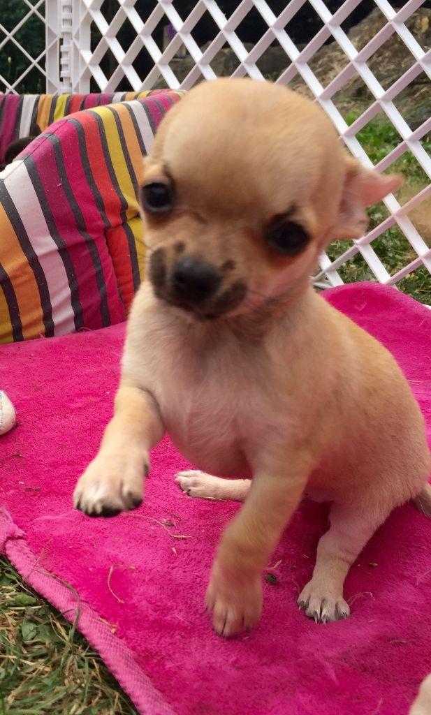 Noé DES MINI POUCES - Chihuahua