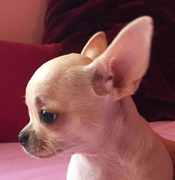 des Mini Pouces - Chiot disponible  - Chihuahua