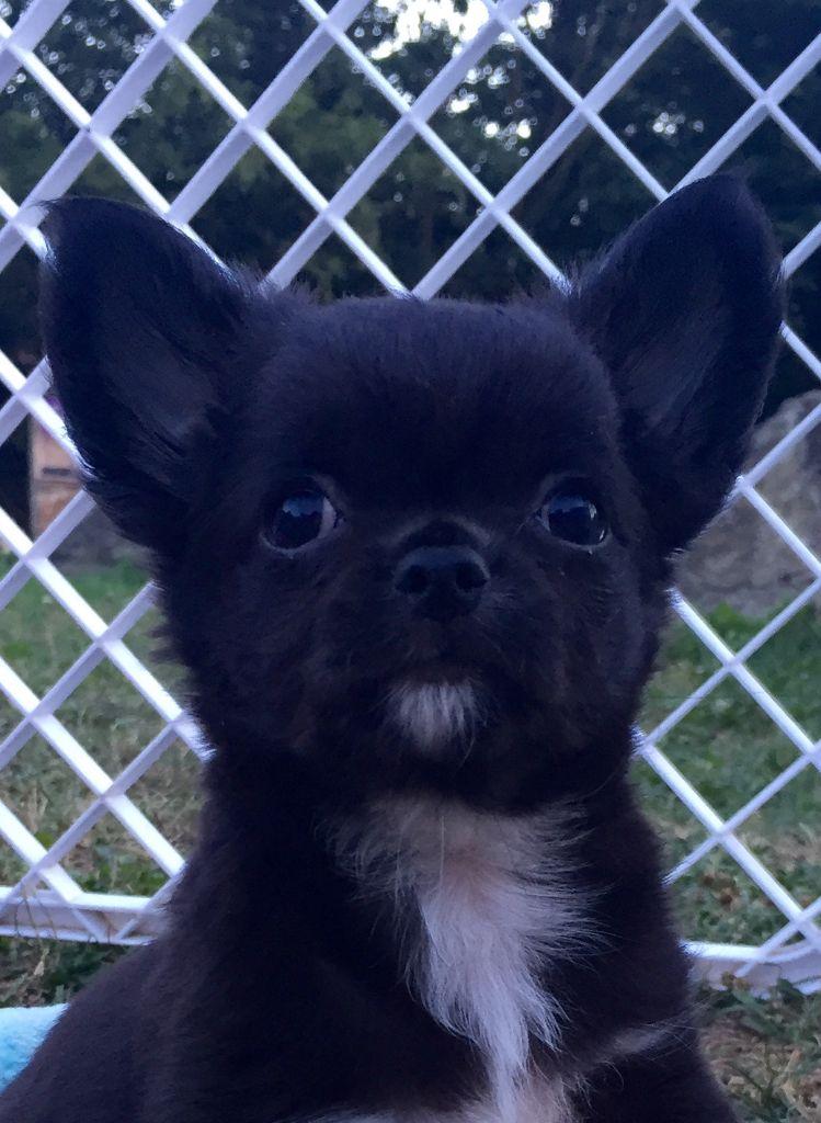des Mini Pouces - Chihuahua - Portée née le 06/06/2017