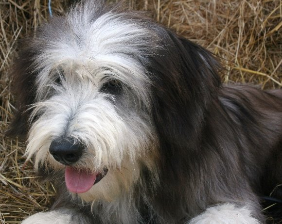 Bearded Collie Rescue Dogs Uk