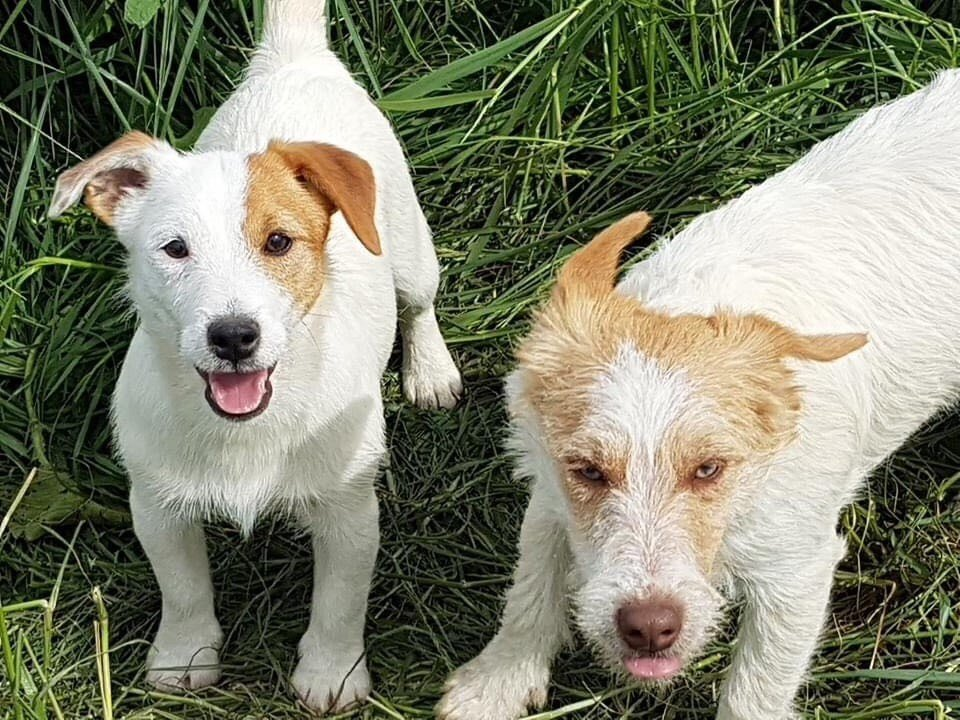 Philippe Garnier - Chiot disponible  - Jack Russell Terrier