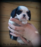 de la plaine du Jaelma - Chiot disponible  - Cavalier King Charles Spaniel