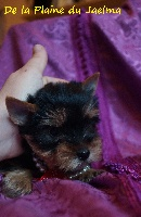 de la plaine du Jaelma - Chiot disponible  - Yorkshire Terrier