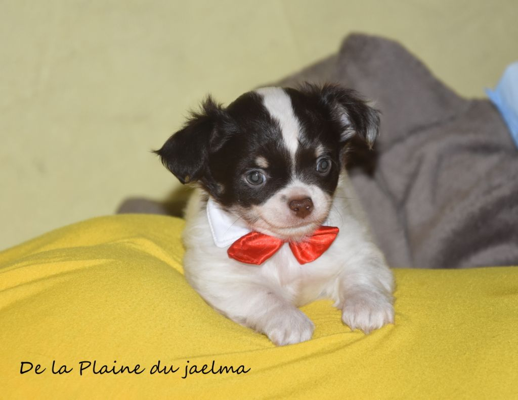 de la plaine du Jaelma - Chiot disponible  - Chihuahua