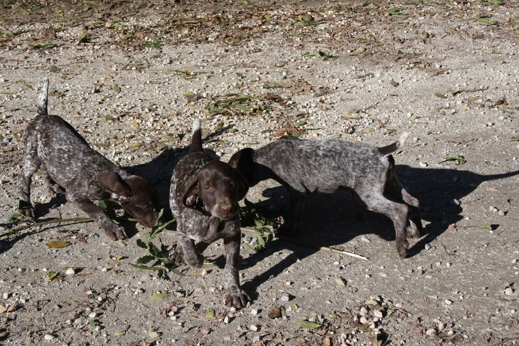 du Marais de Saintonge - Chiot disponible  - Braque allemand à poil court