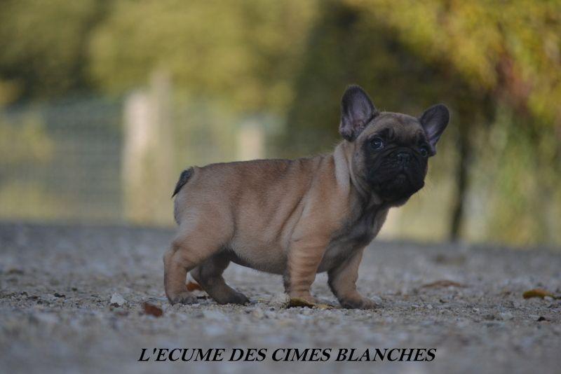 CHIOT - Bouledogue français
