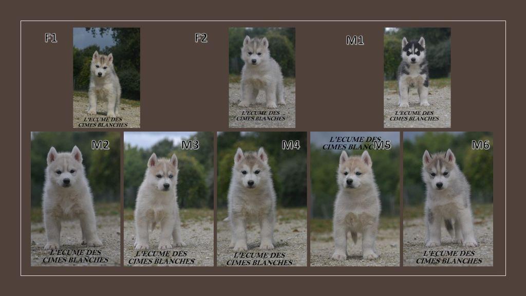 de l'écume des cimes blanches - Siberian Husky - Portée née le 15/08/2020