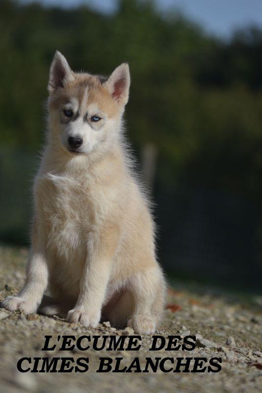 de l'écume des cimes blanches - Chiot disponible  - Siberian Husky