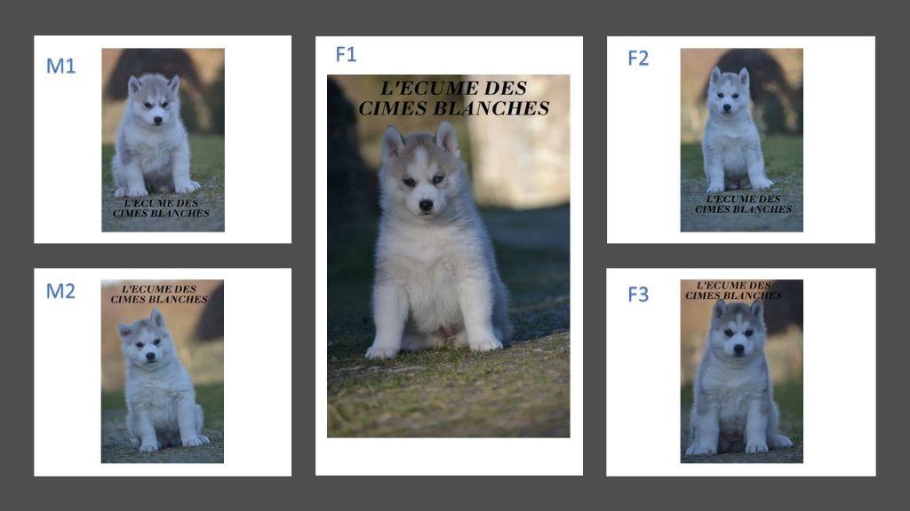 de l'écume des cimes blanches - Siberian Husky - Portée née le 07/12/2020
