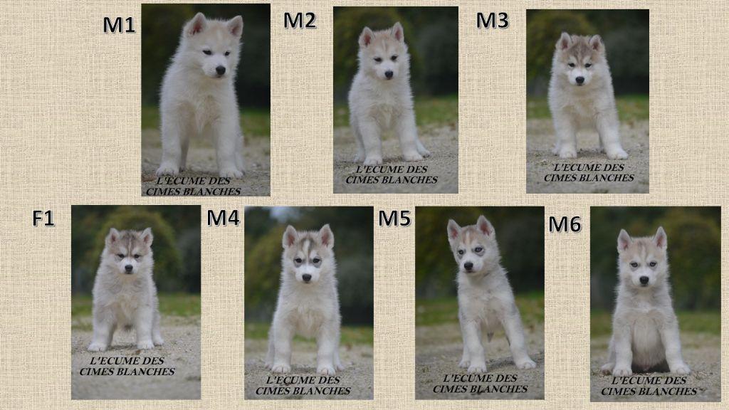 de l'écume des cimes blanches - Siberian Husky - Portée née le 24/08/2020