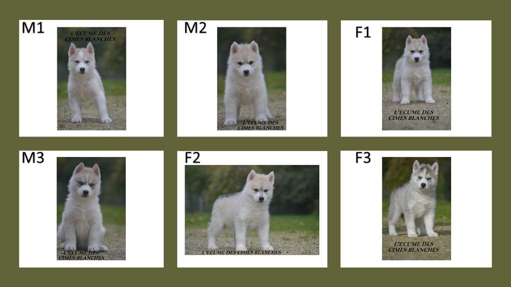 chiot Siberian Husky de l'écume des cimes blanches