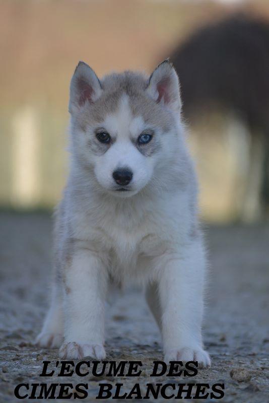 NODDY - Siberian Husky