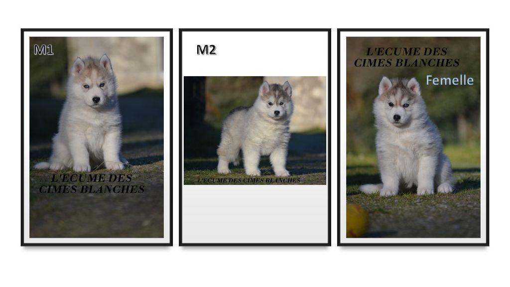 de l'écume des cimes blanches - Siberian Husky - Portée née le 01/12/2020