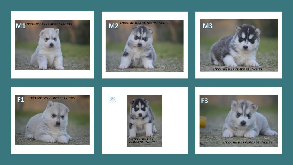 de l'écume des cimes blanches - Siberian Husky - Portée née le 26/12/2020