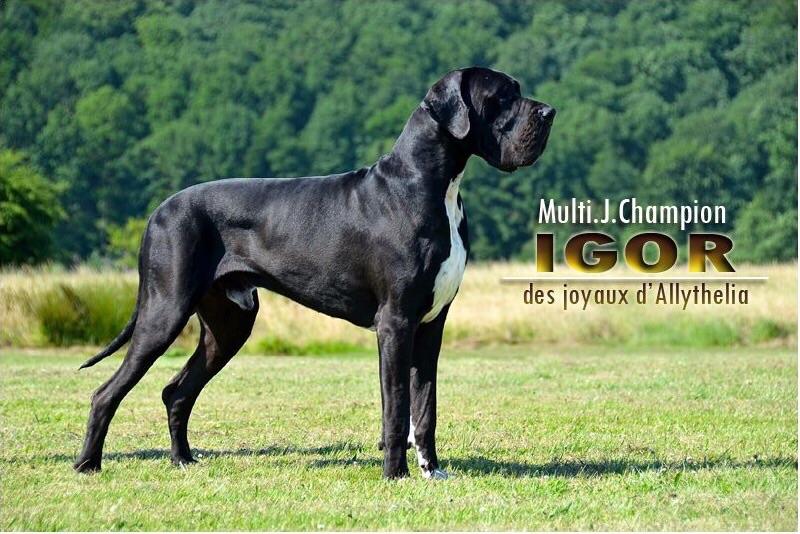 des Joyaux d'Allythelia - Igor jeune champion de Belgique
