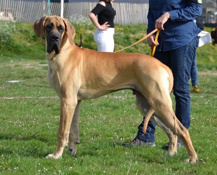 des Joyaux d'Allythelia - Chiot disponible  - Dogue allemand