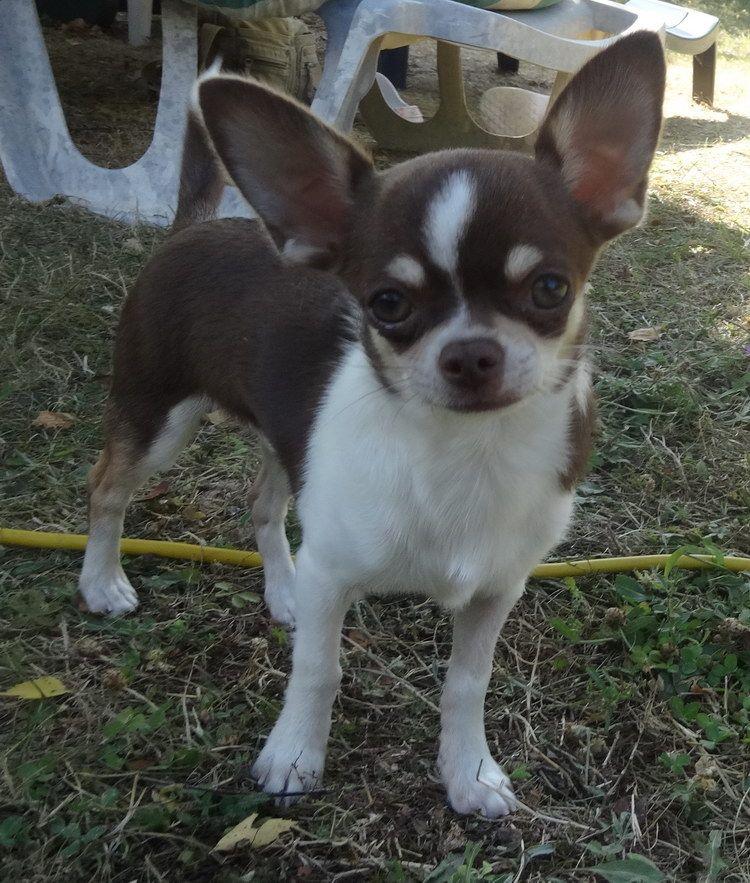 Orwell - Chihuahua