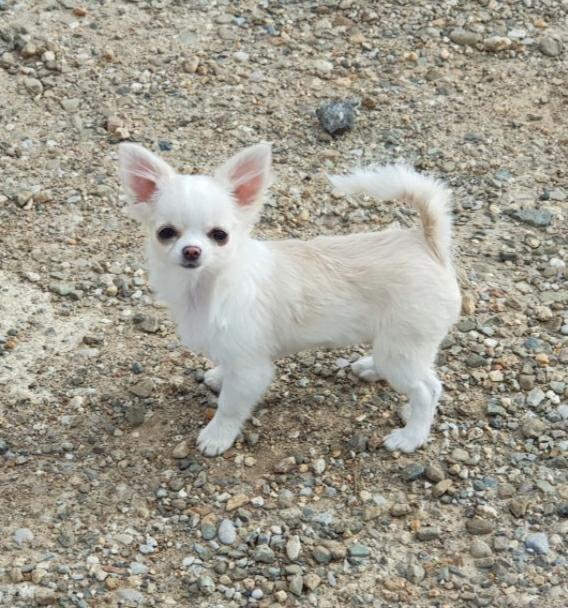 des jolis coeurs de Stanley - Chiot disponible  - Chihuahua