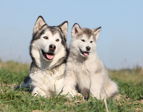 Accueil - Elevage on Kamiakan Trail - eleveur de chiens