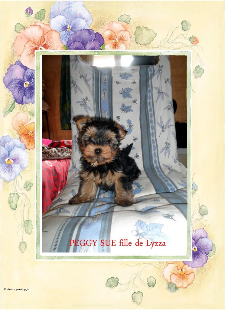 PEGGY SUE - Yorkshire Terrier
