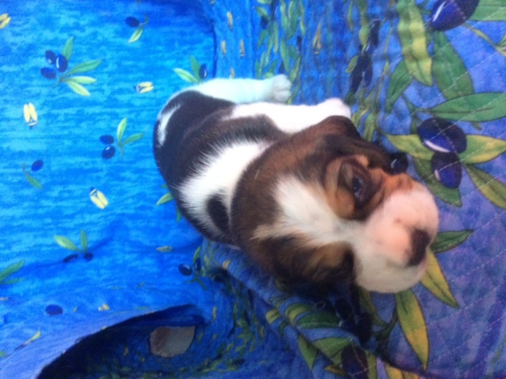 du Rallie Sainte Baume - Chiot disponible  - Beagle